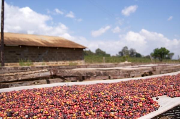 coffee drying in Kenya