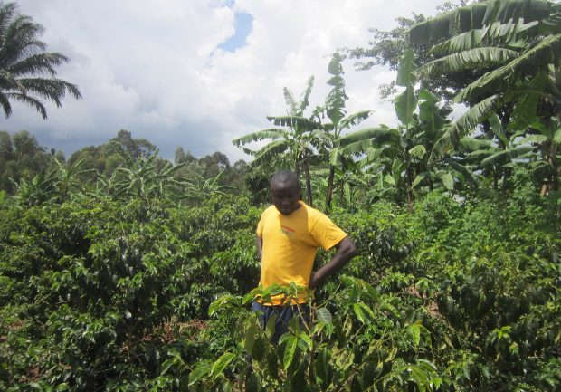 Uganda coffee sector production growth