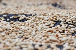 Coffee drying in parchment on raised beds