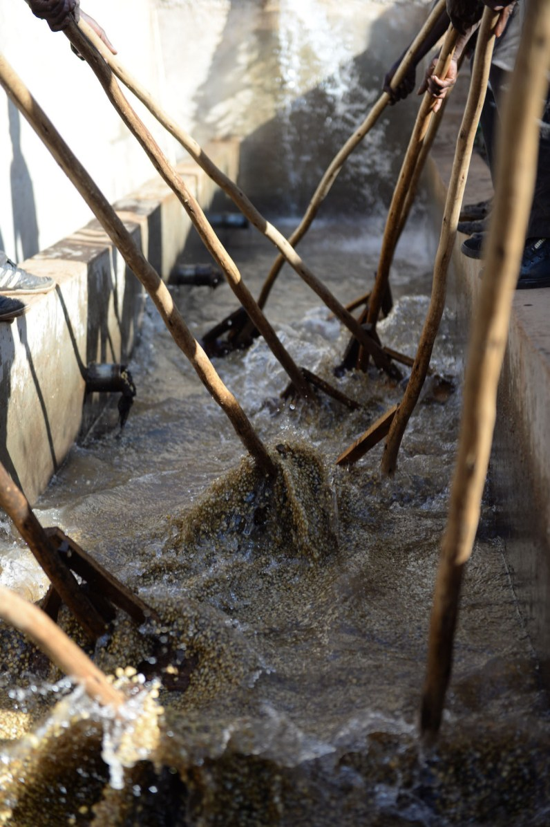 Coffee washing at Kerchanshe Trading's washing station in Anasora. Photo by Mark Shimahara/Daily Coffee News