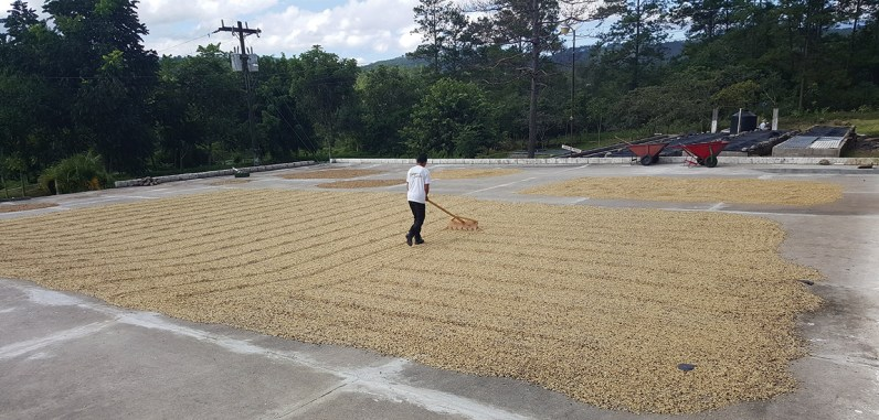 Patio drying washed coffee at the Cocabel cooperative in Belen, Lempira, Honduras. Photo by David Alejandro Hernandez.