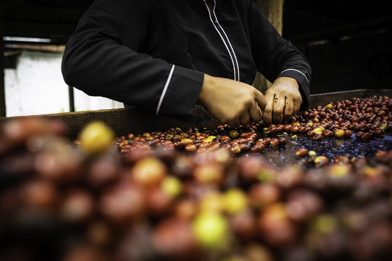 Colombia_Coffee_2019_Quindio_67