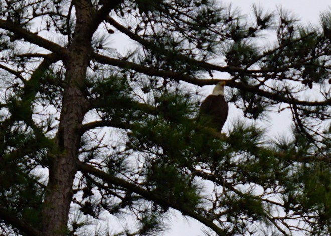 Caught a view of an eagle this morning