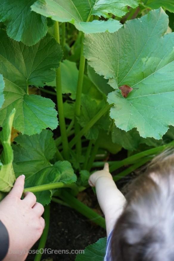 garden, zucchini