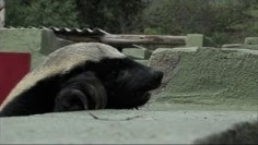 What This Smart Honey Badger Did Is Astonishing!