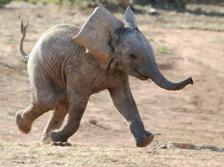 Baby-Elephant-Running-Wallpaper