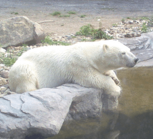 Guest Writer Wednesday June 21, 2016 Polar Bear Arrives in Haifa, Claims Asylum Daily Freier