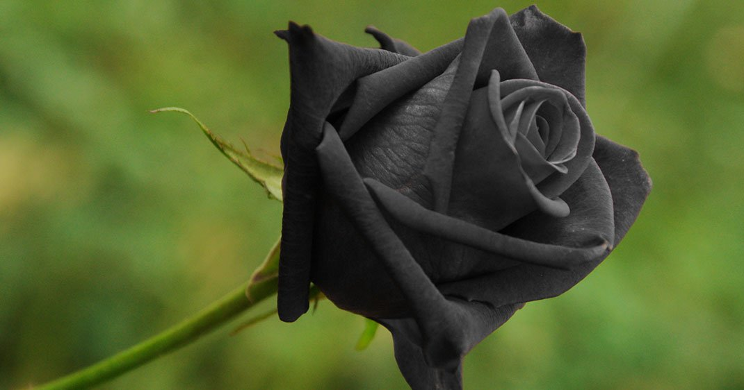 fascinantes roses noires