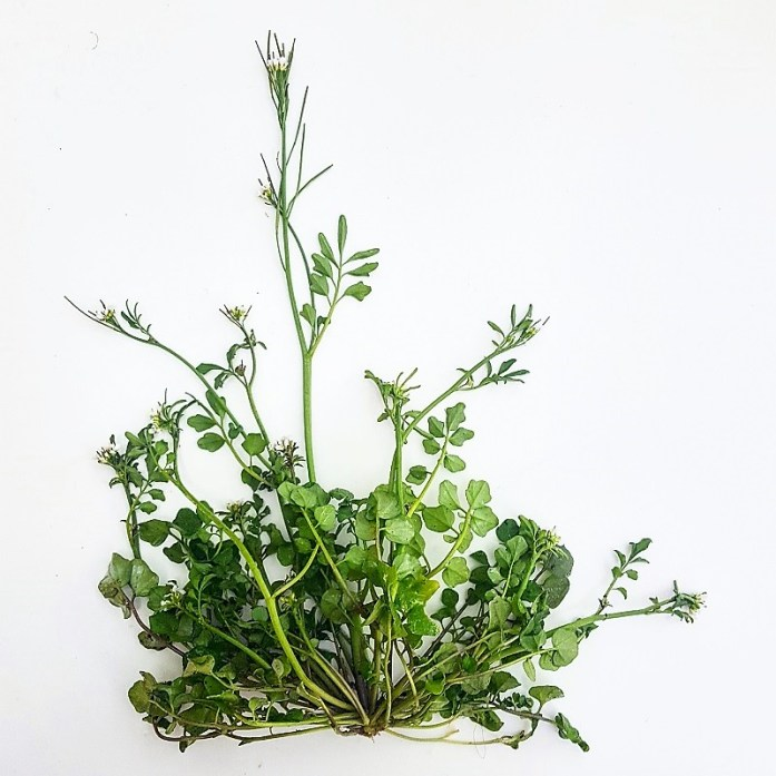 Bitter Cress Dailygreenspiration