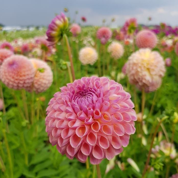 Dahlia's FamFlowerFarm DailyGreenspiration