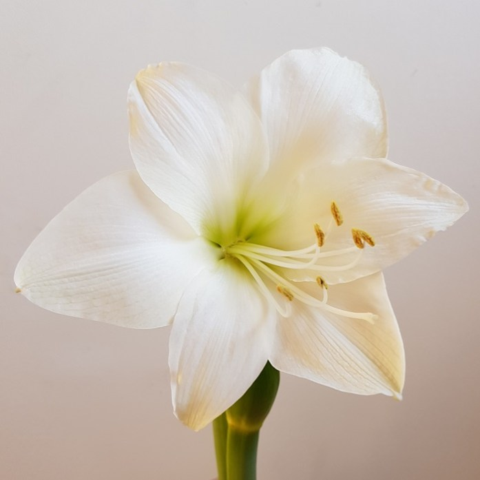 hyacint en amaryllis