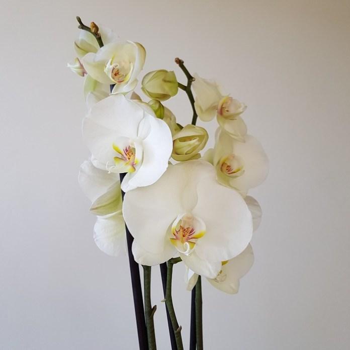 kamerplanten orchidee