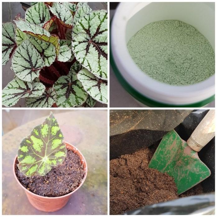 kamerplanten - begonia stekken