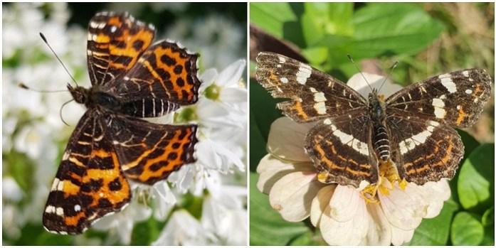 twee generaties vlinders