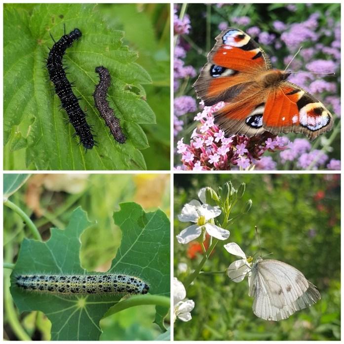 rupsen en vlinders