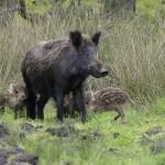 wilde dieren - wilde zwijnen