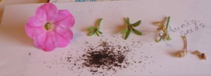 Left to right: freshly picked petunia, still small unripe seed pod, dry pod still surrounded by green sepals, denuded crisp seed pod, empty shell of seed pod