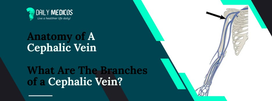 Cephalic vein [Key Facts You Should Know About It] 2 - Daily Medicos
