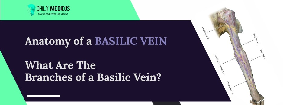 BASILIC VEIN [Key facts You Should Know About it] 2 - Daily Medicos
