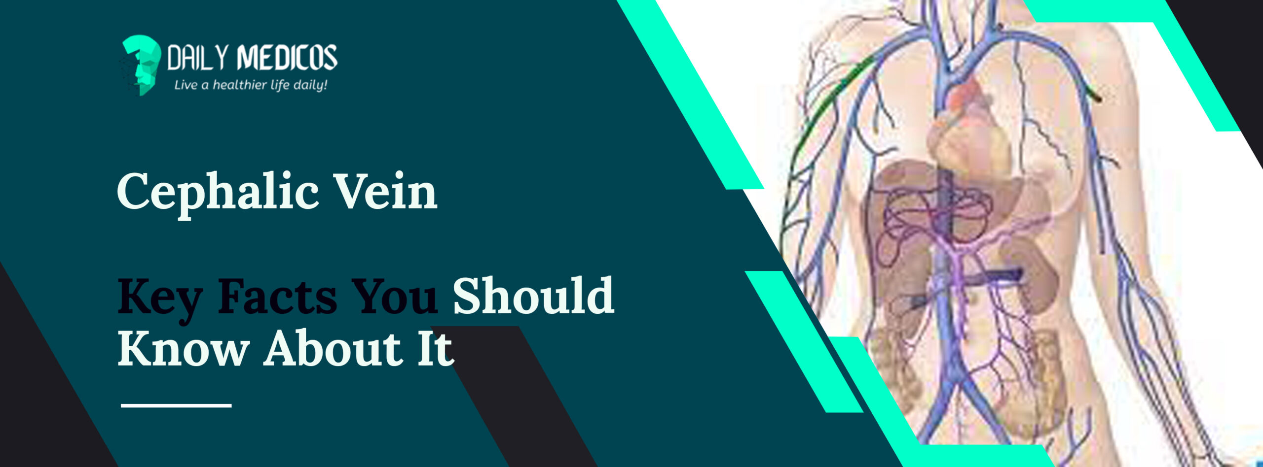 Cephalic vein [Key Facts You Should Know About It] 1 - Daily Medicos