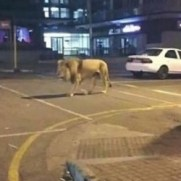 lionescapeimage2