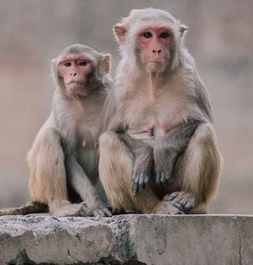 Horror as pack of monkeys storm a home, kidnap and kill eight-day-old baby girl