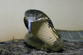 Snake lover who got bitten by one of his snakes wants to dispose the last one which venom can kill in 30 minutes