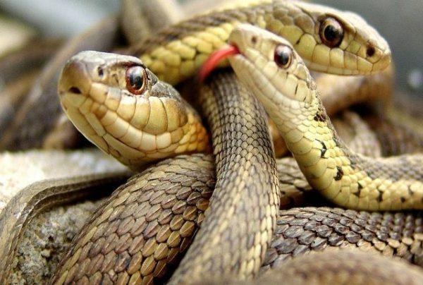 Harmattan: Snakes on rampage, Nigerians warned