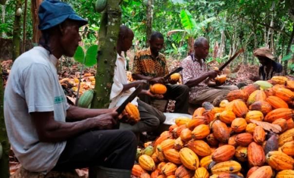 FG's cocoa pilot project abandoned, Adamawa Senator raises alarm