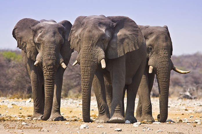 The elephants pictured here are not related to the ones mentioned in the story.