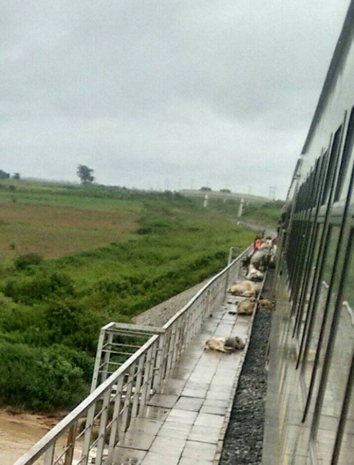 Carcasses of the cows crushed by Abuja-Kaduna train on Sunday September 9, 2018.