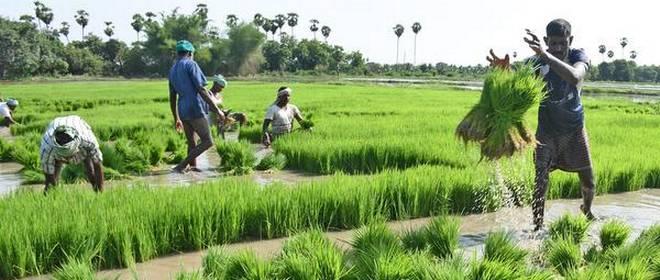 FILE: Farmers working in a rice field