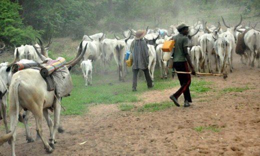 JUST IN: Gunmen rustled over 105 cattle in Plateau LG
