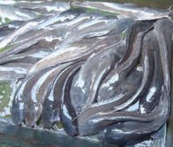 Explore fish farming, Kano state govt. urges Sasakawa global 2000