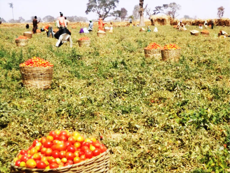 Tomato price to drop as farmers approach surplus period