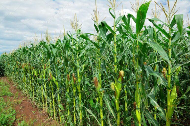 Nigeria releases 18 high yielding crop varieties for farmers [SEE LIST]