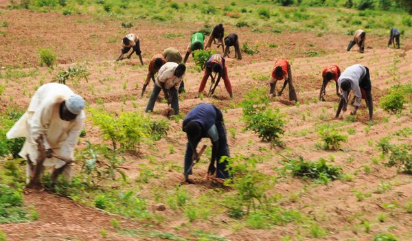 PIC. 15. FARMERS WEEDING AT DASS IN BAUCHI ON WEDNESDAY (11/7/12).
