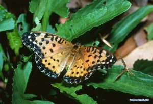 File photo shows an Australian fritillary in bushes. Scientists have identified 26 Australian butterfly species and subspecies at greatest risk of extinction and those species were estimated to be lost within 20 years. Topping the list is Australian fritillary with a 94 per cent likelihood of extinction in two decades. (Photo by Garry Sankowsky/Xinhua).