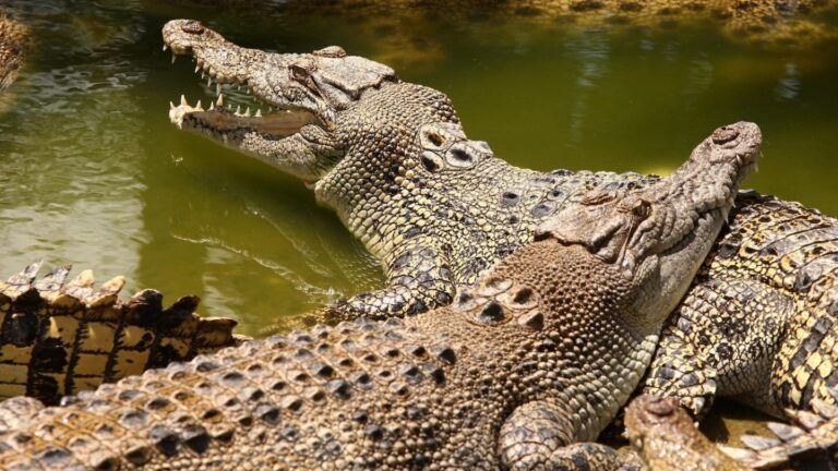 Crocodiles kill mineworker in Indonesia
