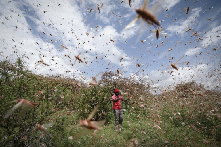 Desert locust: West Africa at risk of food insecurity, FAO warns