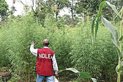 Indian hemp farmer, others bag 75 years imprisonment each