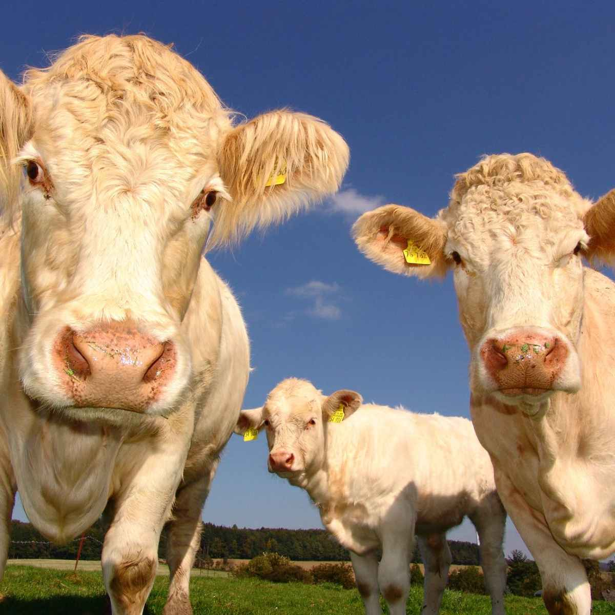 agriculture cows curious pasture