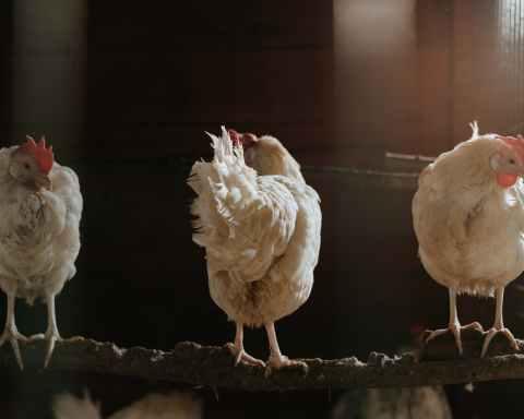 white chicken on brown soil