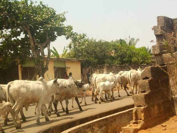 IMG 20200201 131602 735 scaled - Ondo: Herders flee as Amotekun arrests 100 cows for violating grazing rules