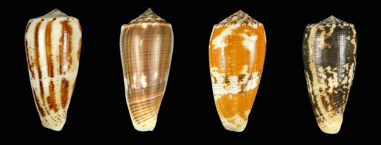 Diversité de tailles, de couleurs et de formes de Conus magus. © Creative Commons