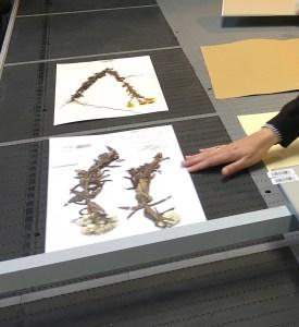 Tapis de digitalisation des planches des herbiers au Jardin botanique.