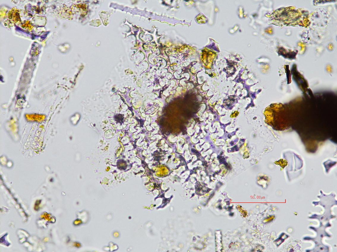 Un exemple de phytolithe © Simon Jusseret