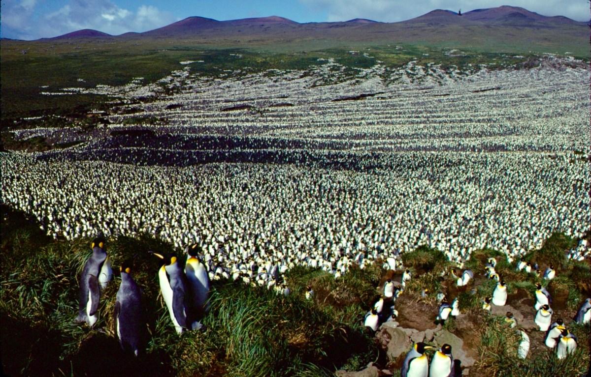 La colonie de manchots royaux de l'île aux Cochons en 1982. © Henry WEIMERSKIRCH
