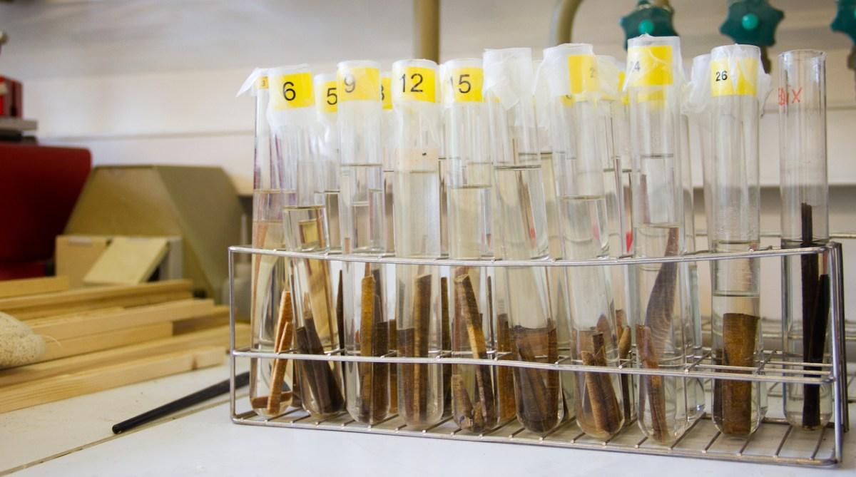 Carottes de bois attendant d'être séchées, au laboratoire de Caroline Vincke. © Laetitia Theunis