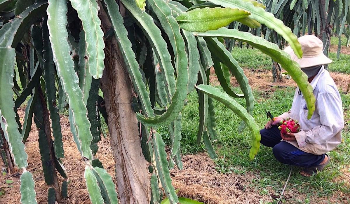 Récolte du pitaya.